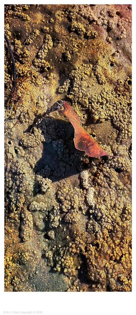 Corroboree Sandpiper