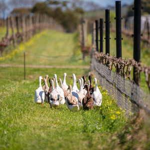 How Ducks are Being Used to Keep Your Favourite Wines Organic