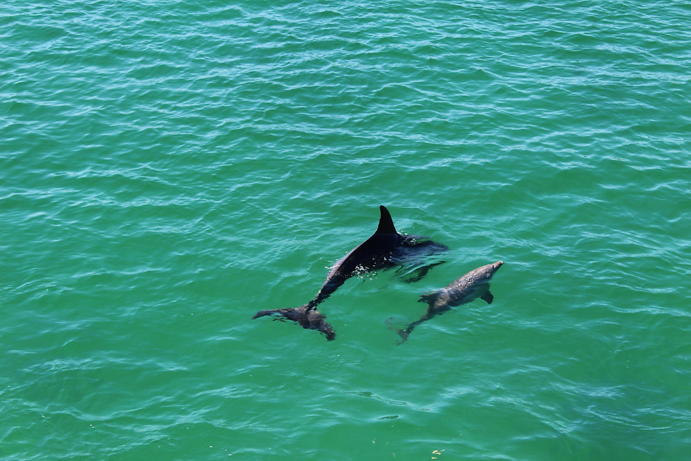 Mother dolphin and calf