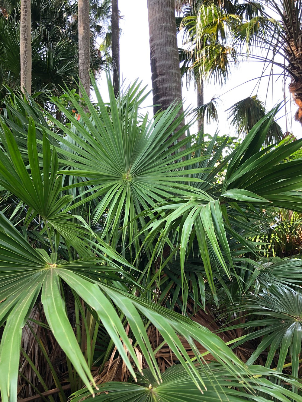 Cabbage Tree Palm NSW