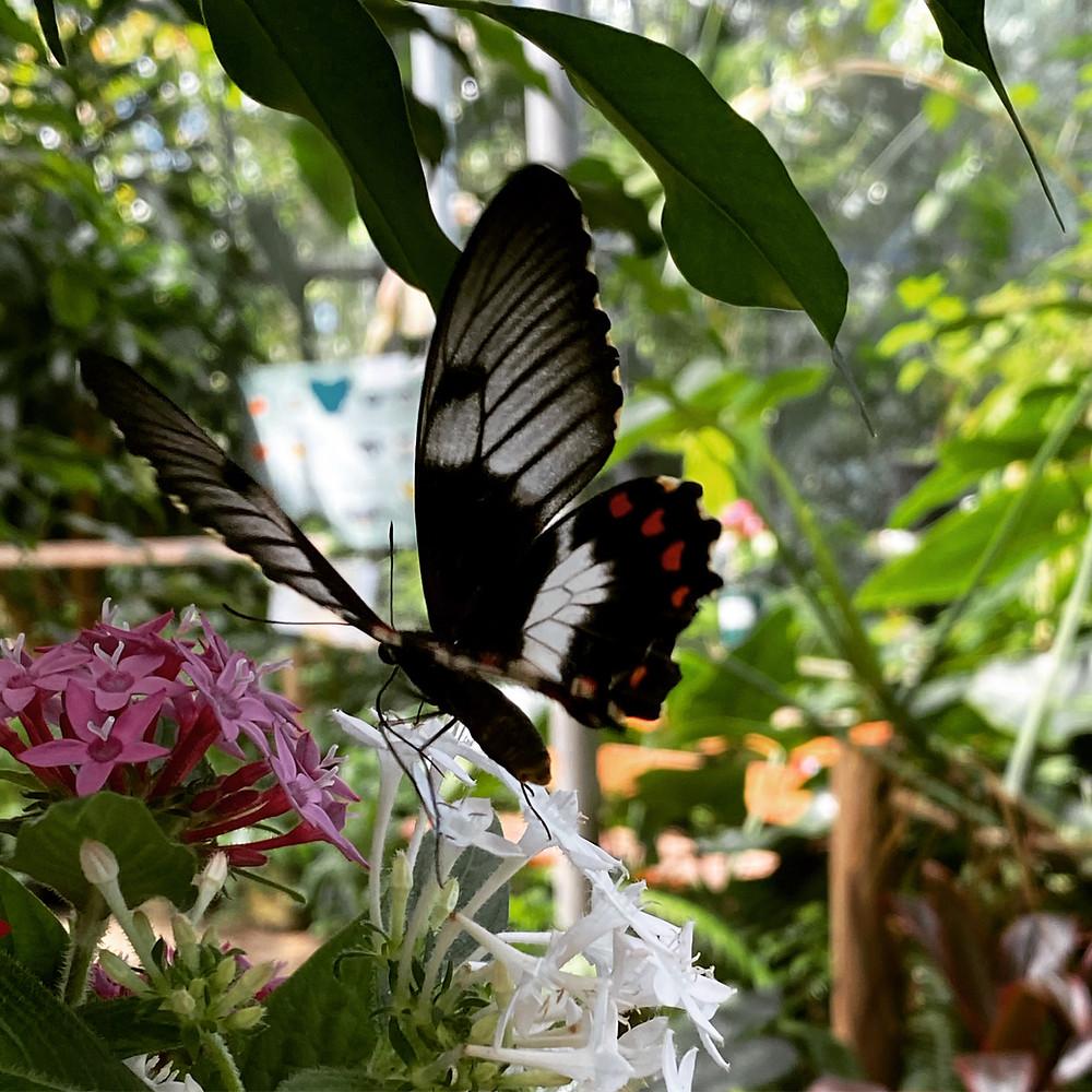 butterflies Coffs Harbour