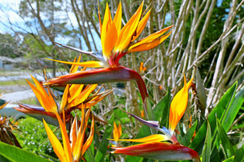 Bird of Paradise Nabiac NSW