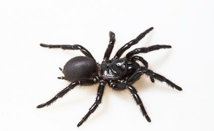 Repairing hearts with deadly funnel-web spider venom