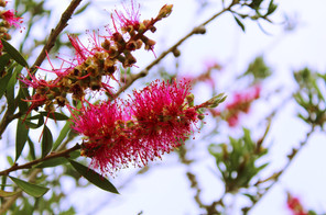 Bottlebrush Coolongolok