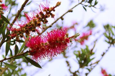 Bottlebrush Coolongolok