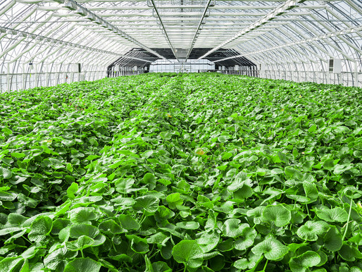 Table Talks: meet Nordic Wasabi, the wasabi grown in Iceland