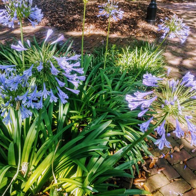 Savannah in Bloom