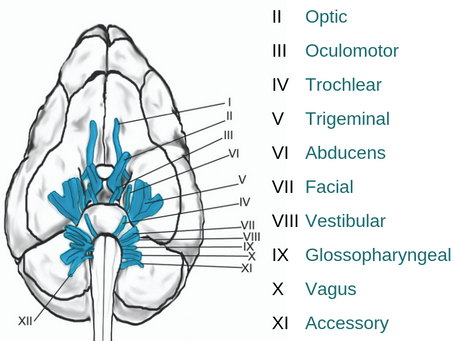 Understanding Cranial Nerve Testing