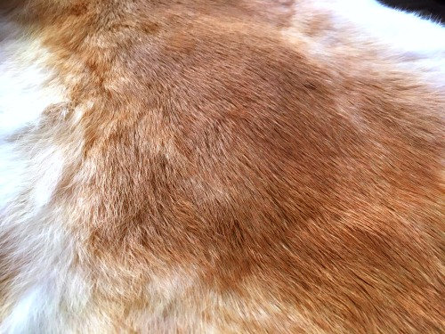 5x Ginger Biscuit Fur Pelts