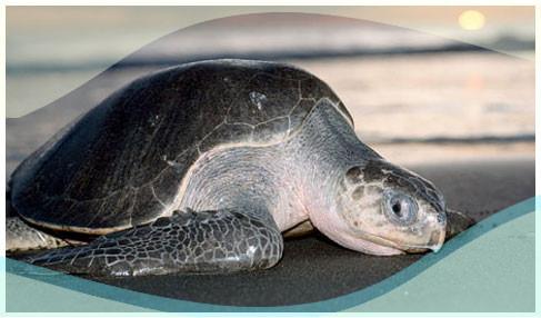 Olive Redily Turtles