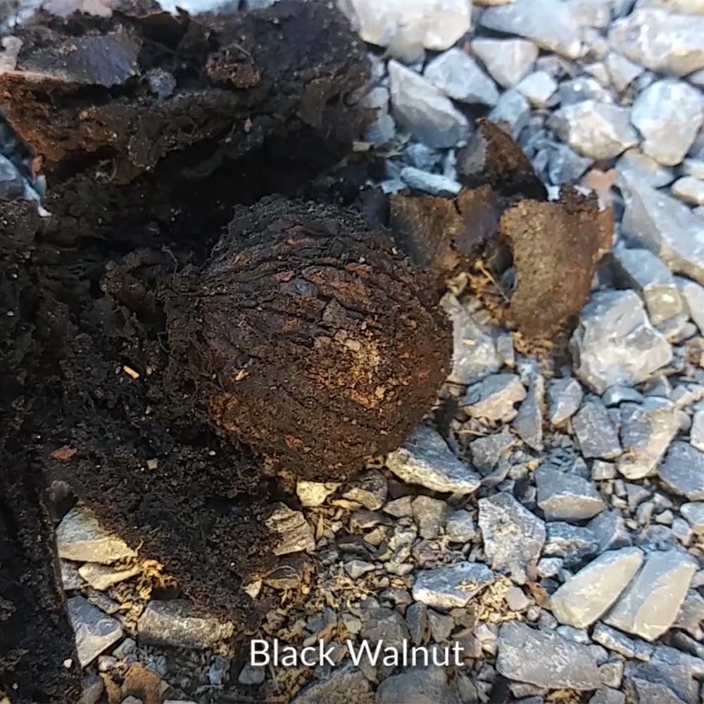 black walnuts - CIPS
