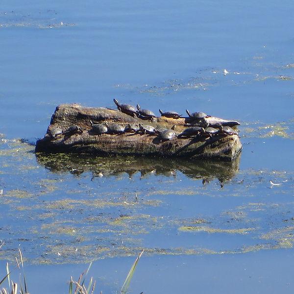 picture-of-painted-turtles-on-log.jpg