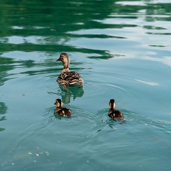 female-duck-and-ducklings.jpg