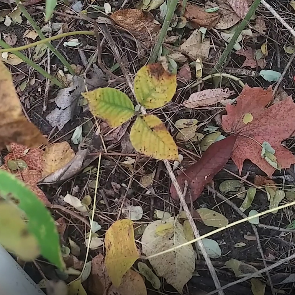 This is the poison ivy plant in the fall changing colours