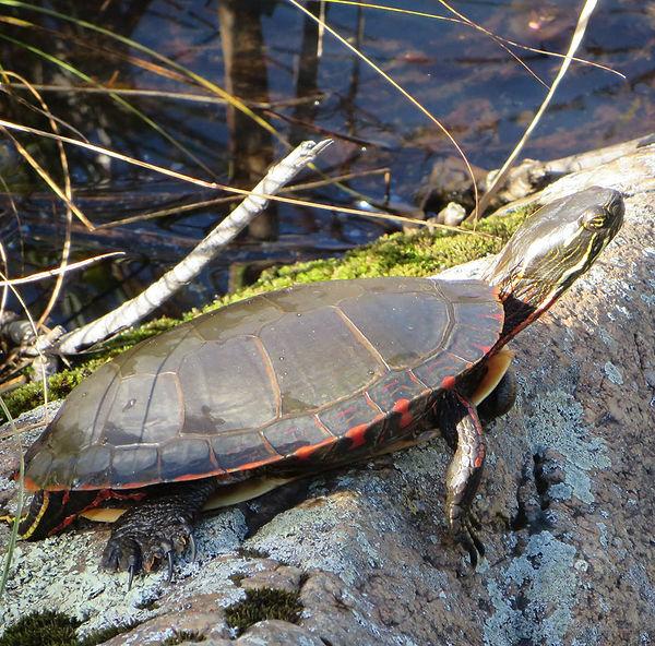 painted-turtle-photo-midland.jpg