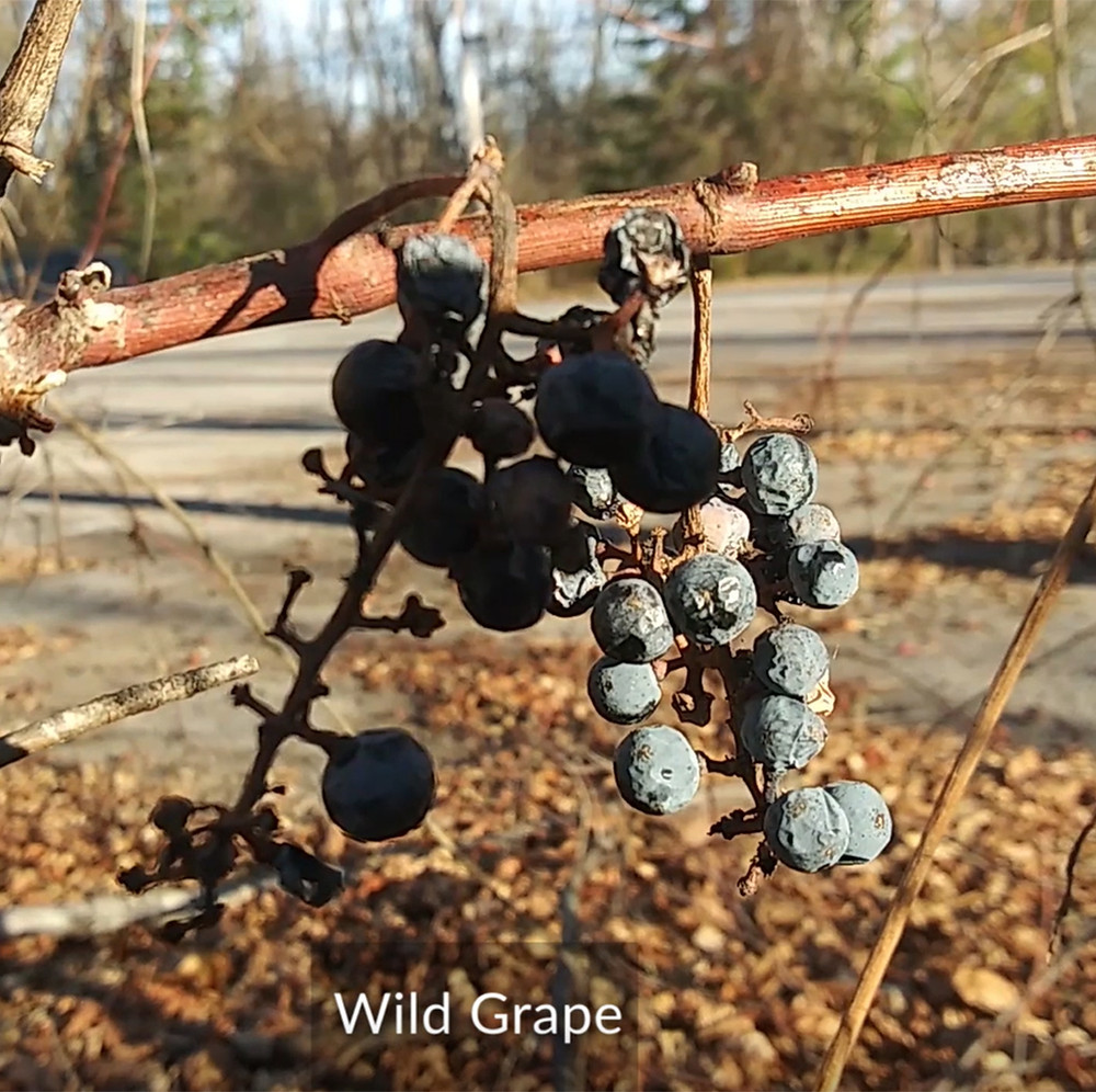 Wild grapes - CIPS