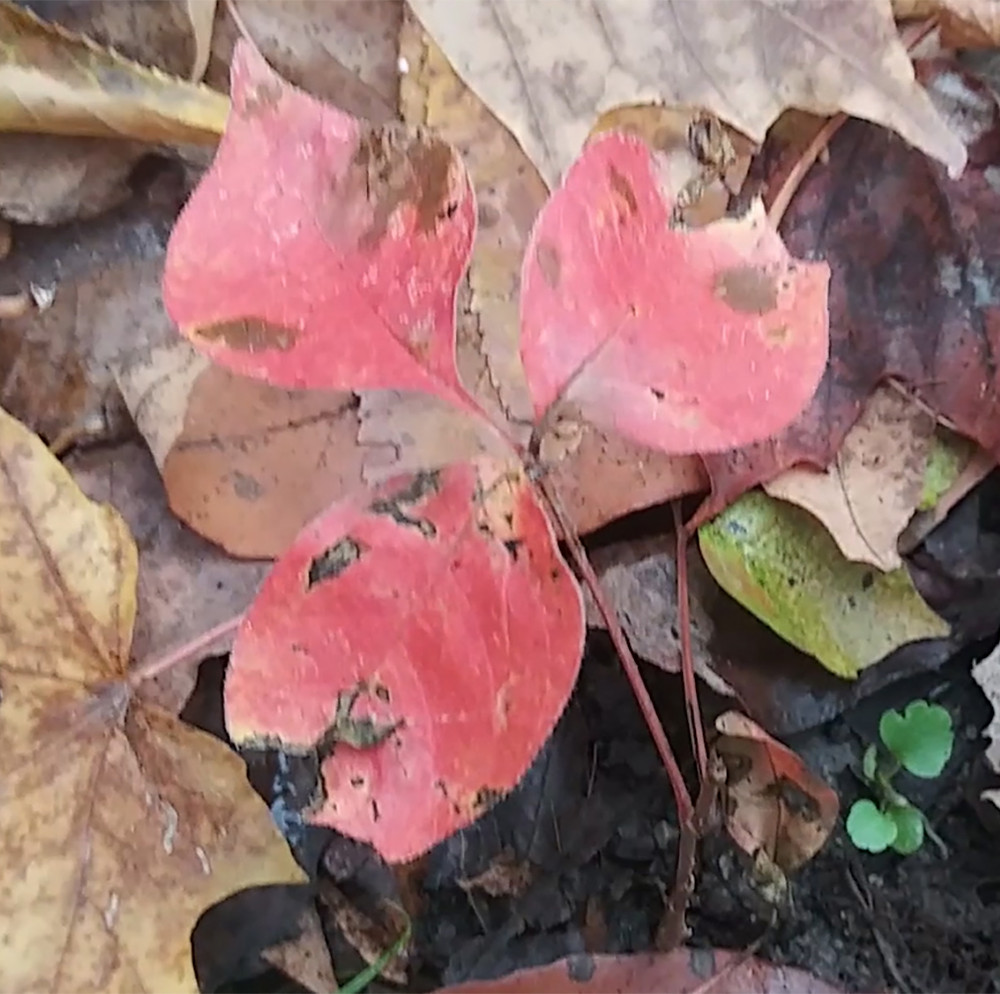 Red colour of the poison ivy leaf in autumn