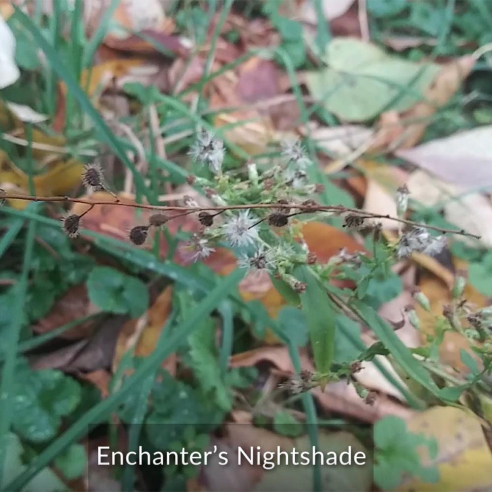 Enchanter's Nightshade - CIPS
