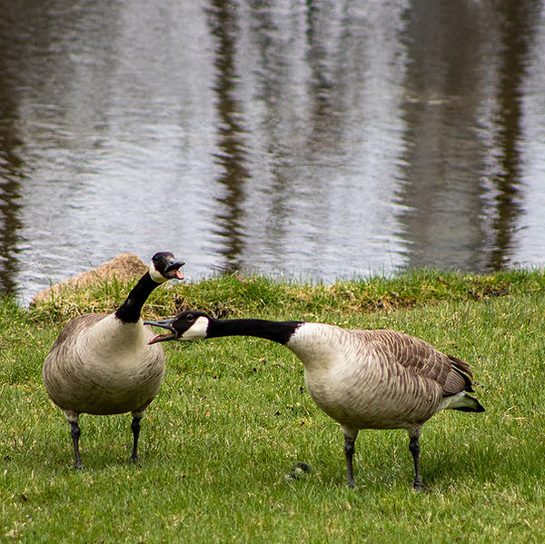 Canada-geese-by-the-river.jpg