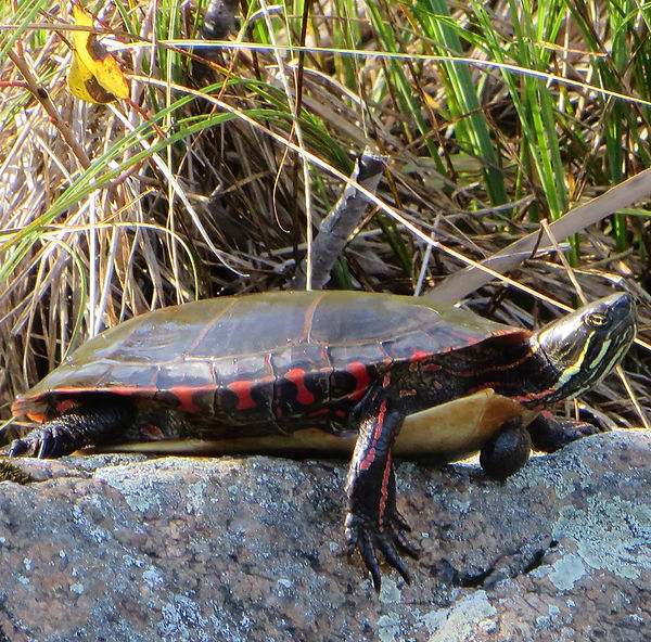 picture-of-painted-turtle.jpg