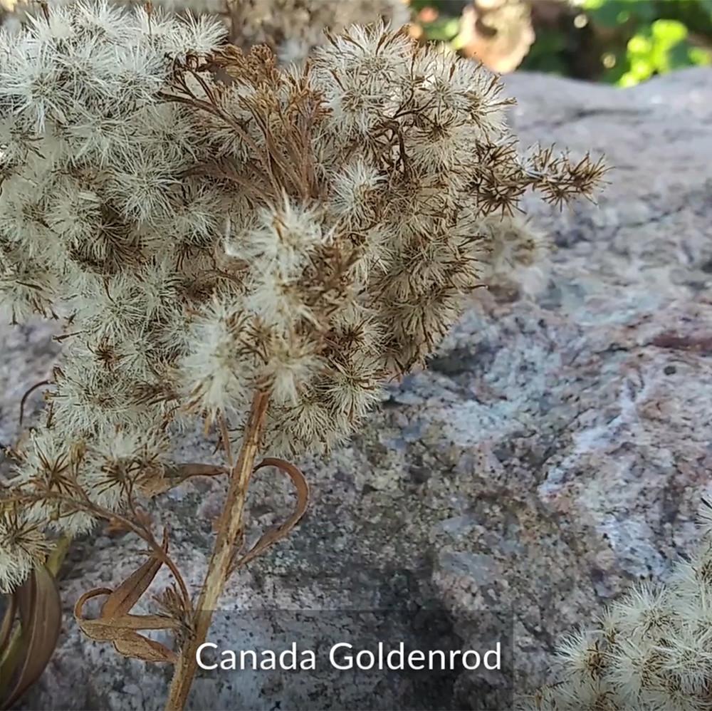 Canada Goldenrod plant - CIPS