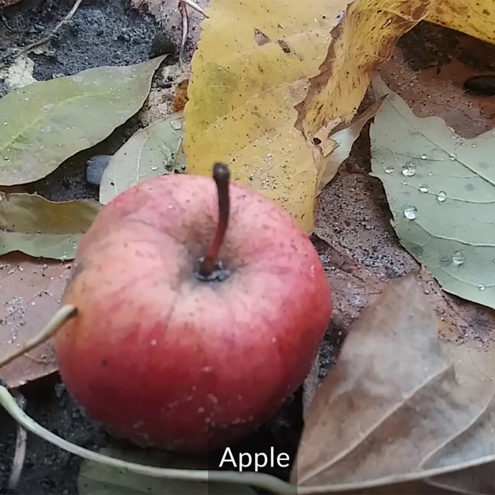 apple from an apple tree