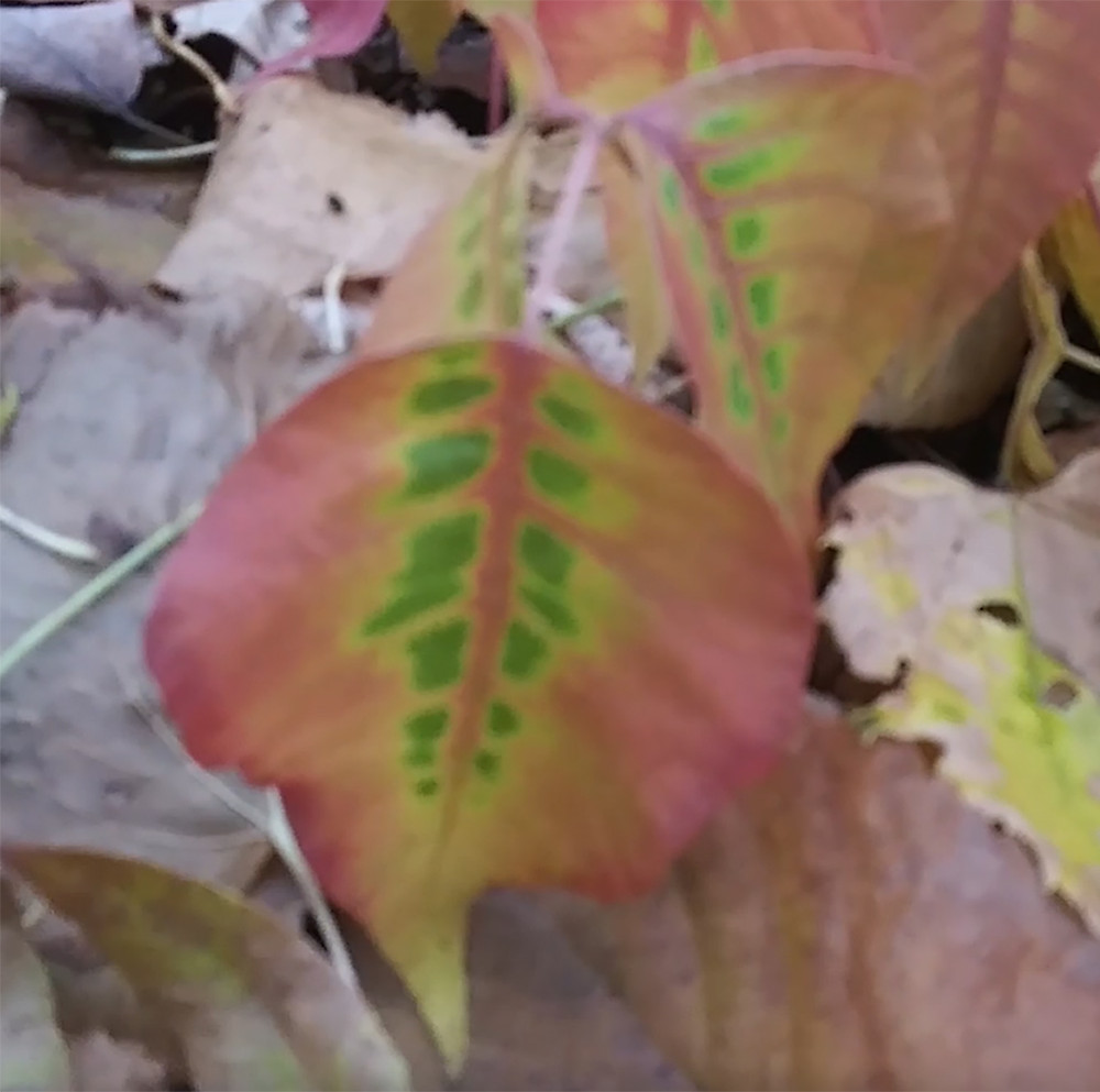 Here is a photo of poison ivy changing colours in the fall - CIPS