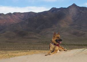 German Shepherd in Desert / Megan Bethge