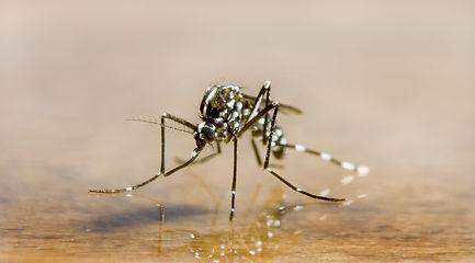Aedes albopictus_Asian Tiger Mosquito.jp