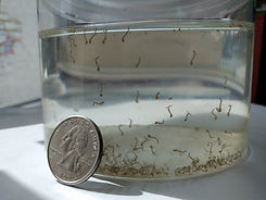 larvae_quarter_breedingjar.jpg