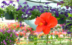 amish greenhouse2