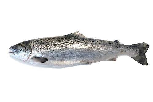 Salmon Whole Boneless Head On Per Kilo