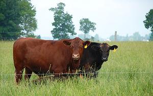 Grass-fed Beef Indiana Farm
