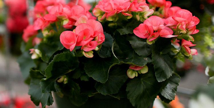 "Panier Begonia Pink Shades 10"""