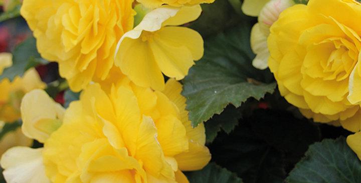 Panier Begonia Tuberous Non Stop Yellow