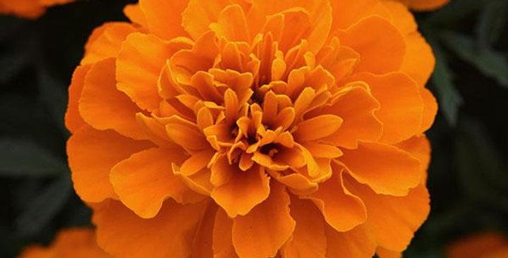 Marigold French Bonanza Deep Orange