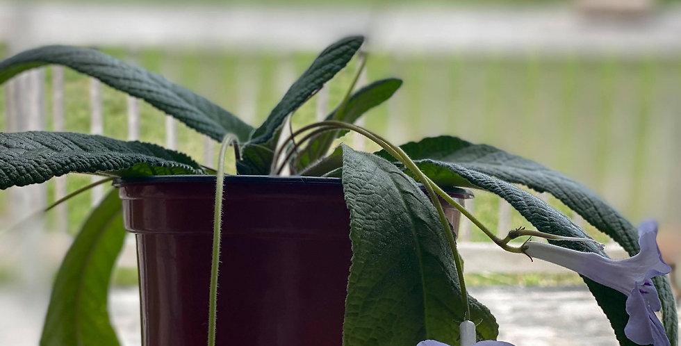 Plante violette d'intérieure (moyennes)