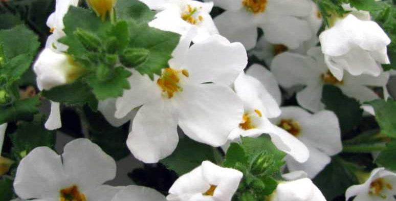 Bacopa Scopia Compact White