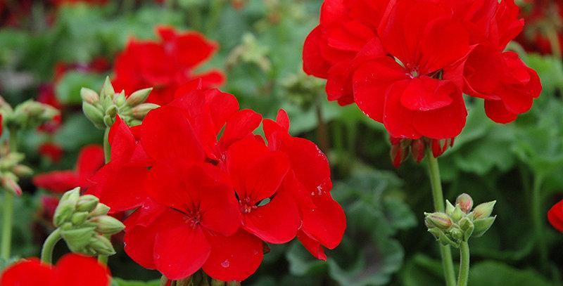 Géranium Zonal Maestro Sassy Dark Red
