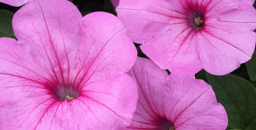 Petunia Premium Easy Wave Pink Passion