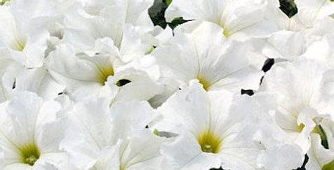 """Panier Petunia Burgundy & White 10"""""""