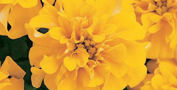 Marigold French Bonanza Yellow