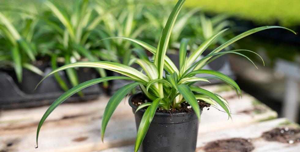 Plante araignée (sans pot)