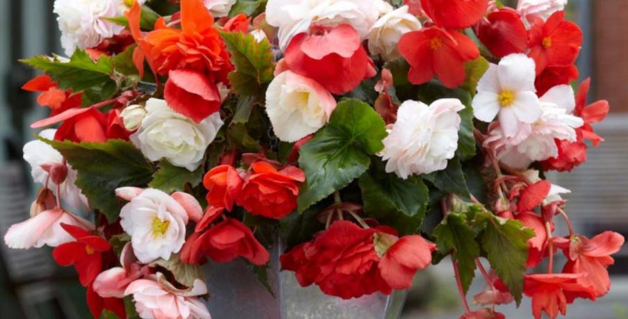 """Panier Begonia Red & White 10"""""""