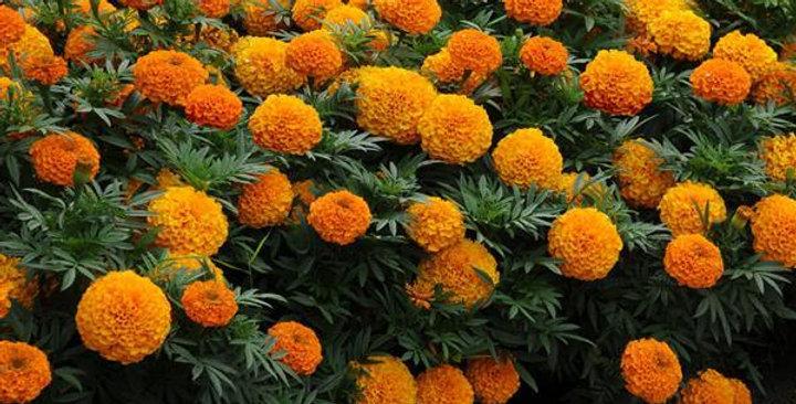 Marigold African Taishan Orange