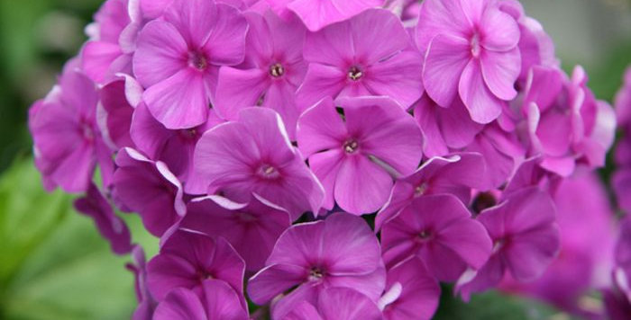 Phlox paniculata Flame Lilac