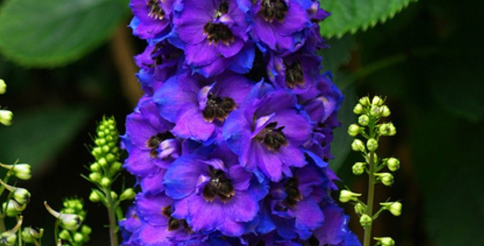 Delphinium Magic Fountain Dark Blue Dark Bee