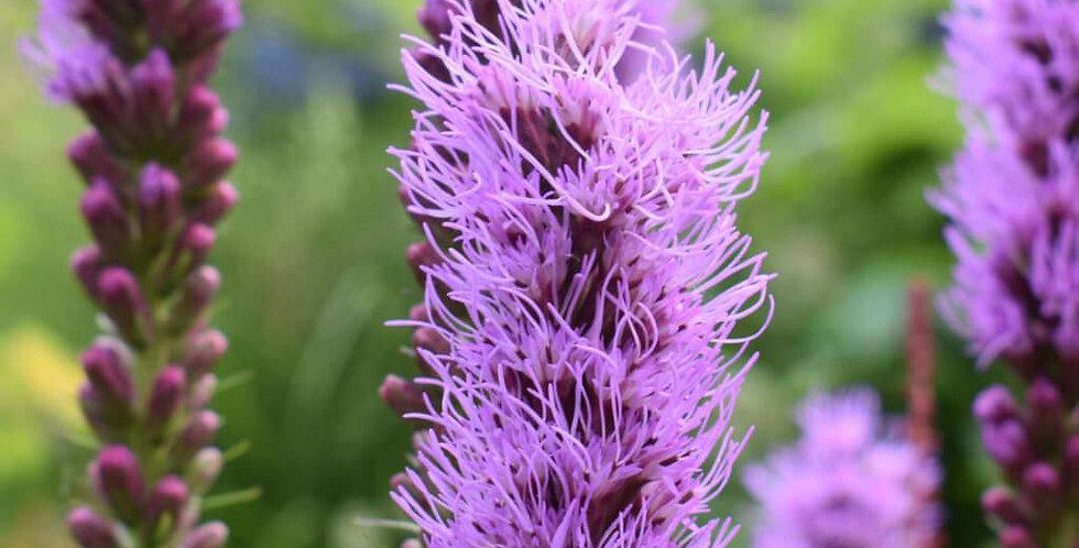 Floristan Violet Liatris