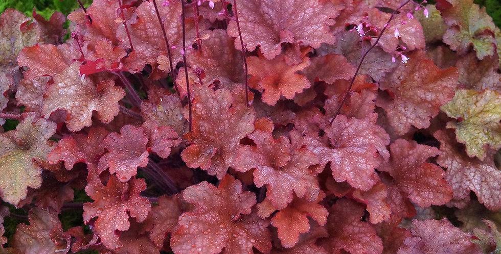 Heuchera Indian Summer Cranberry