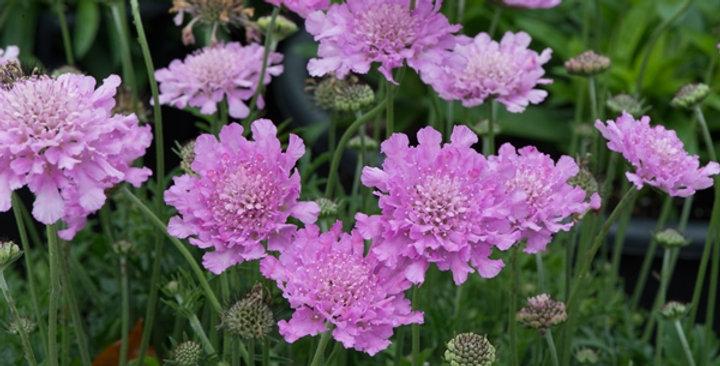 Scabiosa, Flutter Rose Pink